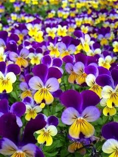 Johnny jump-ups - one of my favourite flowers