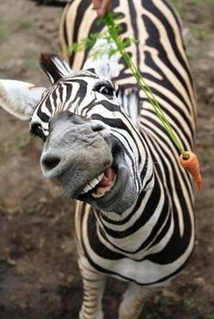 Carrot for the pretty zebra?