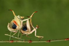 - Hasan Baglar - Zeybeks I thought this might have been image enhanced, but this is the real deal. Little does he know that after they mate he will literally lose his head over her. Shady Friends, National Geographic Photo Contest, Praying Mantis, Creature Feature, Professional Photographer, Beautiful Creatures, Habitats, Animal Pictures, Bugs