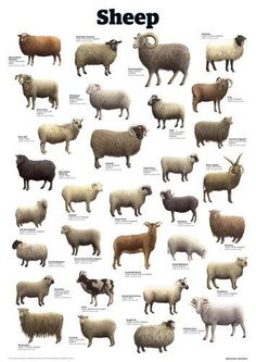 Sheep Art Print by Guardian Wallchart Farm Animals, Animals And Pets, Cute Animals, Sheep Art, Sheep Wool, Sheep Breeds, Cat Breeds, Baa Baa Black Sheep, Counting Sheep