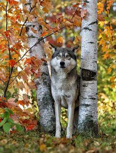 beautiful-wildlife:  Gray Wolf Between AspensbyDaniel Behm
