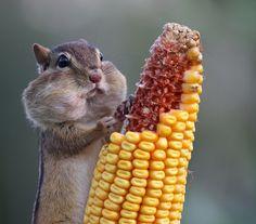 Chipmunk by Barb D'Arpino via Flickr