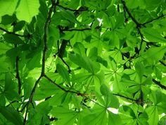photos of green trees - Bing Images Green Trees, Green Leaves, Plant Leaves, Orange Trees, Tree Desktop Wallpaper, Wallpapers, Portrait Quotes, What Is Green, Green Pictures