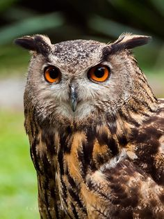 Eurasian eagle owl by Dwi Rahmaputra Yudha on 500px