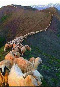 If you're not the lead sheep, the scenery never changes. Farm Animals, Animals And Pets, Funny Animals, Cute Animals, Beautiful Creatures, Animals Beautiful, Tier Fotos, Belle Photo, Animal Photography