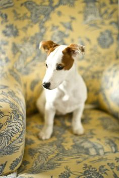 Cléo, the jack russel puppy 5 | Flickr - Photo Sharing!