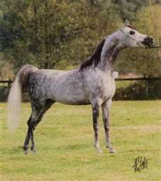 Star was proudly bred and owned by Wayne Newton of Aramus Arabians in Las Vegas, Nevada