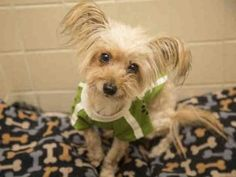 Check out Bentley's profile on AllPaws.com and help him get adopted! Bentley is an adorable Dog that needs a new home. https://www.allpaws.com/adopt-a-dog/yorkshire-terrier-yorkie/5846505?social_ref=pinterest