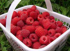 Малина – одна из любимых ягод у любого дачника и садовода, и поэтому редко встретишь такой участок, на котором малина не растет вообще. У кого-то несколько соток, у кого-то несколько кустов. У одного…