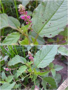 Lota Mouri Flower (লতা মৌরী ফুল) - Digera Muricata
