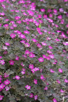 Buy cranesbill Geranium 'Orkney Cherry 'Bremerry' (PBR) ': Delivery by Crocus