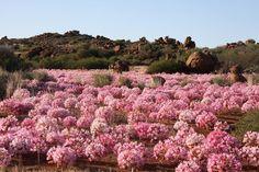 Brunsvigia bosmaniae é uma exótica e bela espécie pertencente à família botânica Amaryllidaceae que encanta a todos pela beleza e rusti...