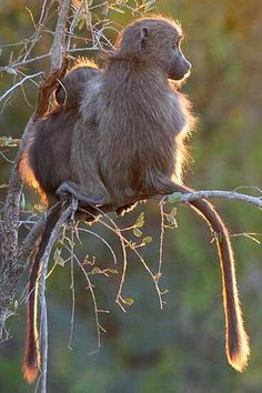 Young chacma baboons perched in tree, Kruger National Park, South Africa