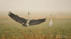 Tips for Photographing Birds in Flight. Grey Heron Landing on a Misty Morning in Bharatpur Bird Sanctuary in Bharatpur, Rajastan
