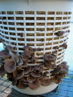 Growing mushrooms in a laundry basket: