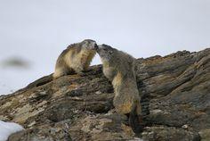 Marmotte della Valle d'Aosta - foto: Maurizio Broglio