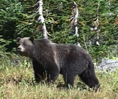 Grizzly bear~naturescapes videos