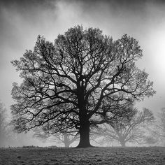Calke Abbey is dotted with venerable old trees. This oak is isolated from its neighbours on this misty morning. White Oak Tree, Black And White Tree, Old Oak Tree, Old Trees, Tree Photography, Landscape Photography, Tree Artwork, Tree Paintings, Oak Tree Tattoo
