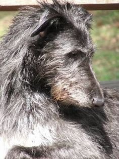 sottish deerhound phot | ... scottish deerhounds photo album previous photo album home next photo