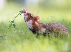 Hamster europeu por Julian Rad