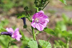 Blüte der Teemalve Plants, Home Remedies, Plant, Planets