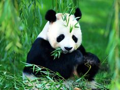 panda, the most lovely creature in the world.