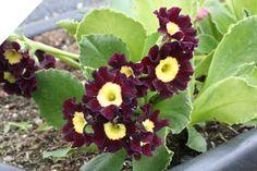 - Miamarias villvoks: Aurikler/primula i blomst 29. mai 2011