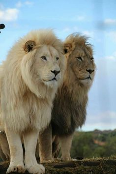 The Lion brothers are on the lookout. - The Lion brothers are on the lookout… The Lion brothers are on the lookout… Royal Animals, Animals And Pets, Baby Animals, Cute Animals, Wild Animals, Big Cats, Cats And Kittens, Cute Cats, Beautiful Lion
