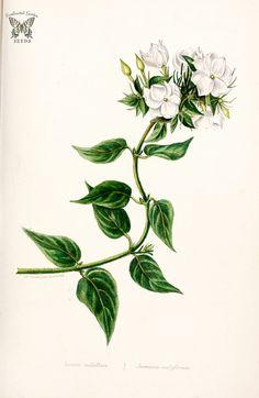 jasmine botanical illustration - ค้นหาด้วย Google