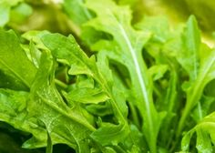 rocket-leaves-grow-your-own-salad