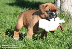 X litter puppy