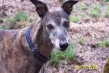 My heart hound, my sweet Ozzy he would have been 14 this july, dam cancer..