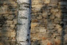 2012-02-16: birch and stone