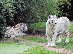 Ades et Rewa les tigres blancs du Zoo de la Flèche