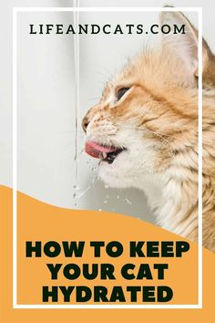 In the wild cats get most of their water from prey. Here are some tips and tricks to get your cat drinking more to prevent urinary problems, and keeps her body functioning properly. #cathealth #cathealthtips #cathydration #healthycat #healthykitty #catcare #catcaretips #felinehealth #felinehealthtips