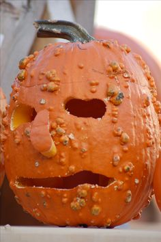 A knucklehead pumpkin carved up as a jack o'lantern. The presence of bumps makes this an interesting twist on the traditional carved pumpkin. See more ideas for pumpkin faces at http://landscaping.about.com/od/galleryoflandscapephotos/ss/pictures-of-pumpkin-faces.htm
