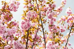 [ cherry blossom ] by Andreas Schott on 500px.