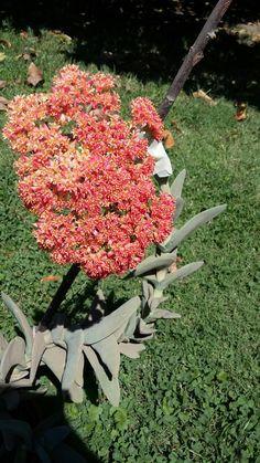 Suculenta en flor #suculenta #flor #colores