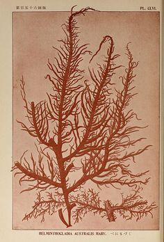 Icones of Japanese algae.. Tokyo,Kazamashobo[1907-1942]. biodiversitylibrary.org/page/1250323