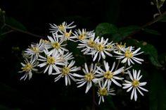 Sticky Daisy Bush by GPNaturePhotos on Etsy
