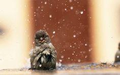 Sparrow bird bath.