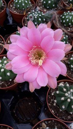 Echinopsis Subdenudata Pink Flower