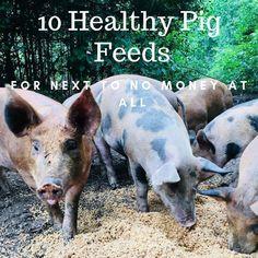 10 Alternative Options for Feeding Your Pigs - Modern Raising Farm Animals, Raising Chickens, Kune Kune Pigs, Pig Feed, Pot Belly Pigs, Pot Belly Pig Food, Pig Farming, Farming Ideas, Pet Pigs