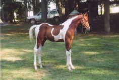 Image result for Spotz Sensation - Saddlebred