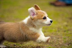 Cool Corgi Puppy Running Images