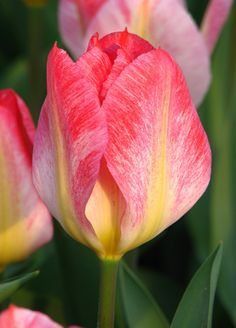 Fosteriana Tulip 'Flaming Purissima'