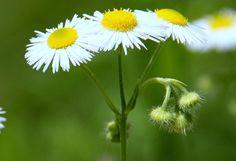 :) Dandelion, Flowers, Plants, Photos, Pictures, Dandelions, Plant, Taraxacum Officinale, Royal Icing Flowers