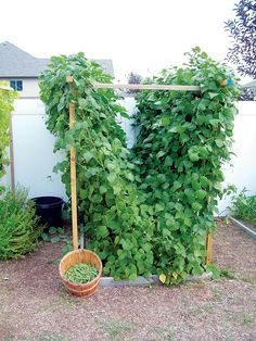 Harness the power of vertical gardening with a trellis! You can still grow plenty of food even when space is limited. - GRIT Magazine