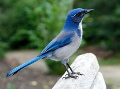 The Western Scrub-Jay exhibits deep azure blue with dusty gray-brown and white. The rounded, crestless head immediately sets it apart from Blue Jays and Steller's Jays. These birds are a fixture of dry shrublands, oak woodlands, and pinyon pine-juniper forests, as well as conspicuous visitors to backyards.