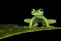Teratohyla midas by Lucas M. Bustamante-Enríquez, via Flickr